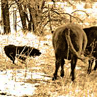Working Stockdog hearding cows.